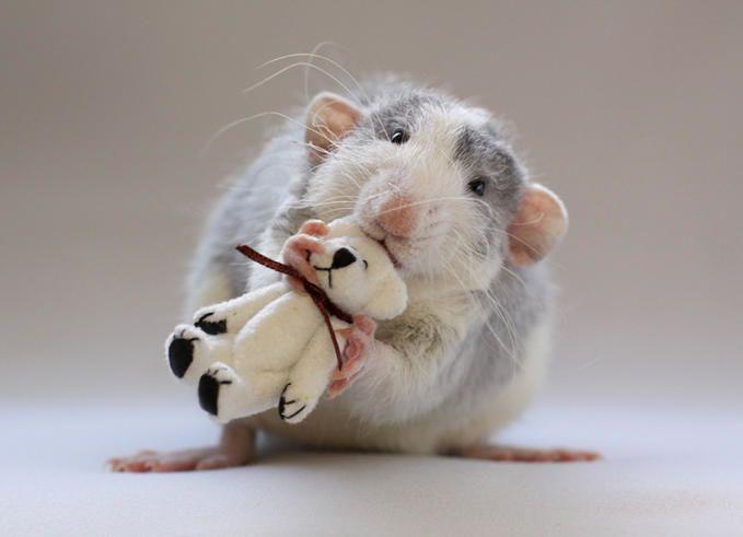 Adorable dumbo rat!!