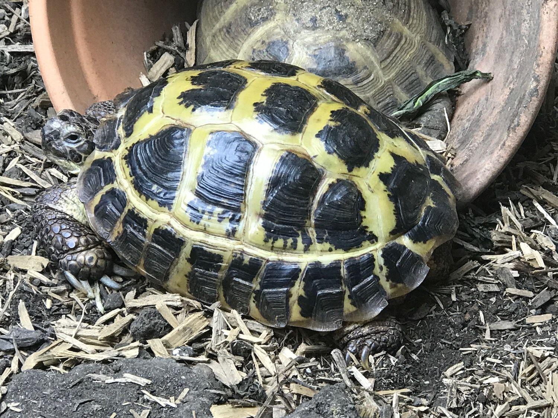 Tortoise For Sale Buy Baby Tortoise Hatchlings For Sale Online Near Me Baby Tortoise Tortoise Russian Tortoise