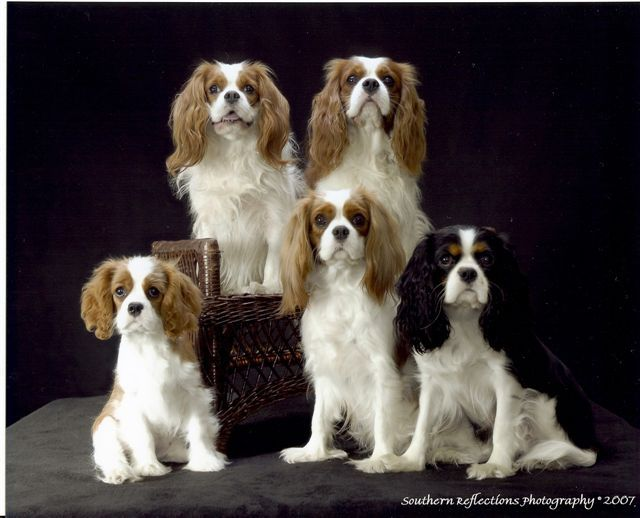 Padamere Cavaliers Near Knoxville Tn Just Like My Lacy Cavalier