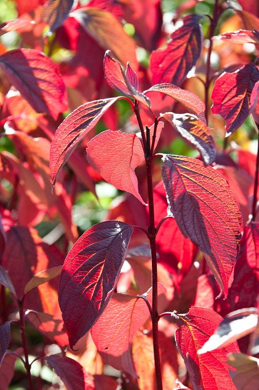 Cornus alba 'Sibirica' #autumnfoliage