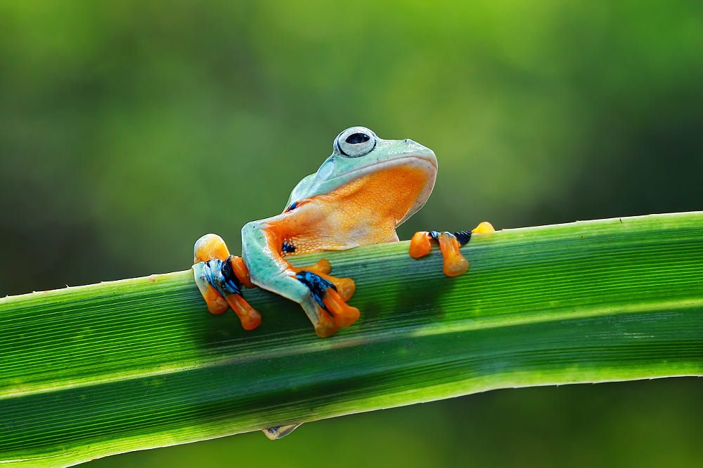 Java Gliding Tree Frog by Kurit Afsheen on 500px | Creepy crawlies ...