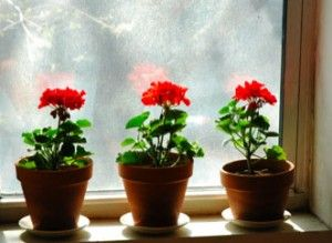 just love geraniums in clay pots...