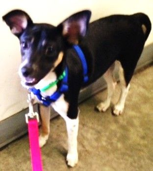 Venus is the canine goddess of love. She's an affectionate rat terrier mix who will be devoted to her people.