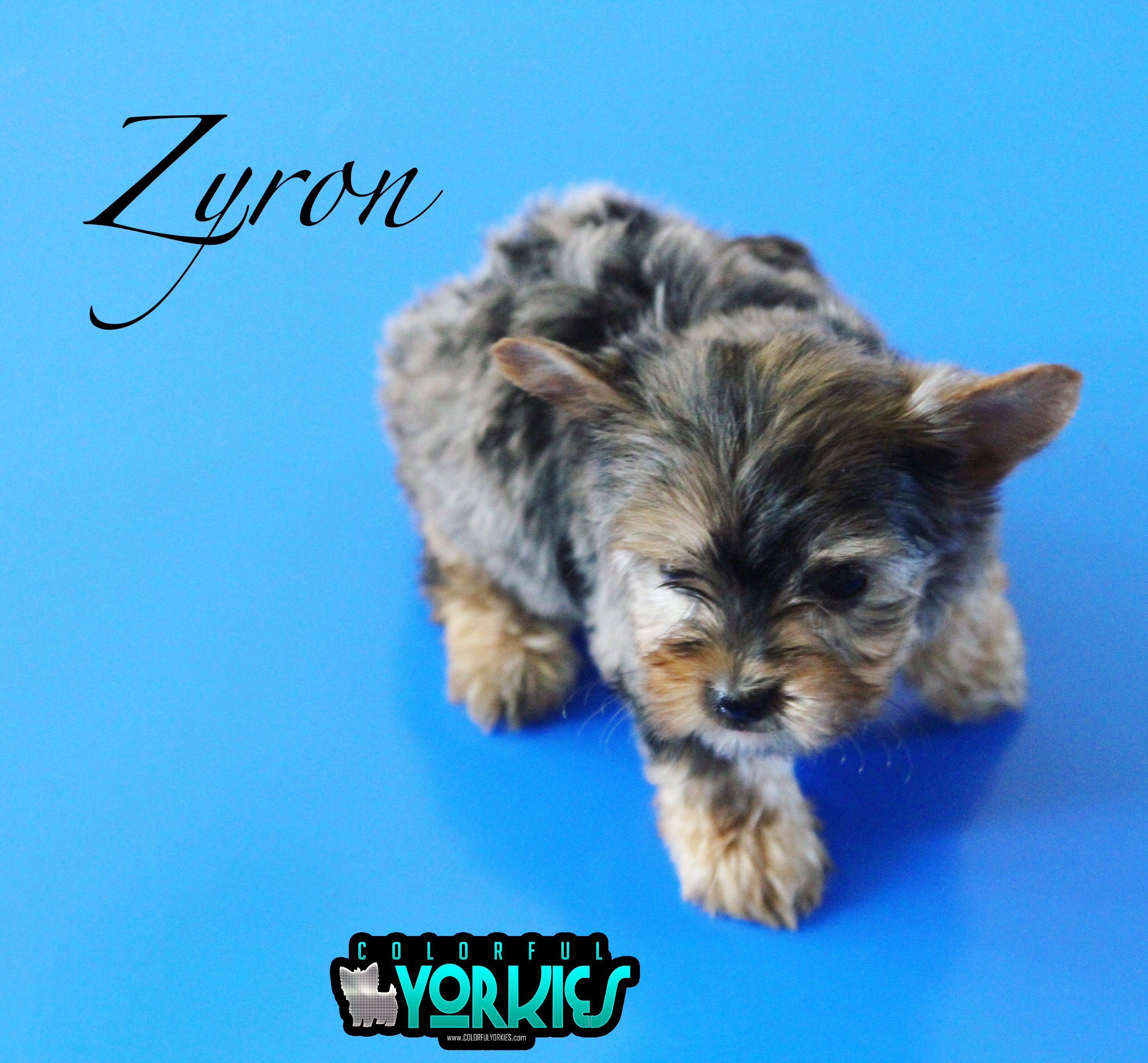 Available at Yorkshire terrier
