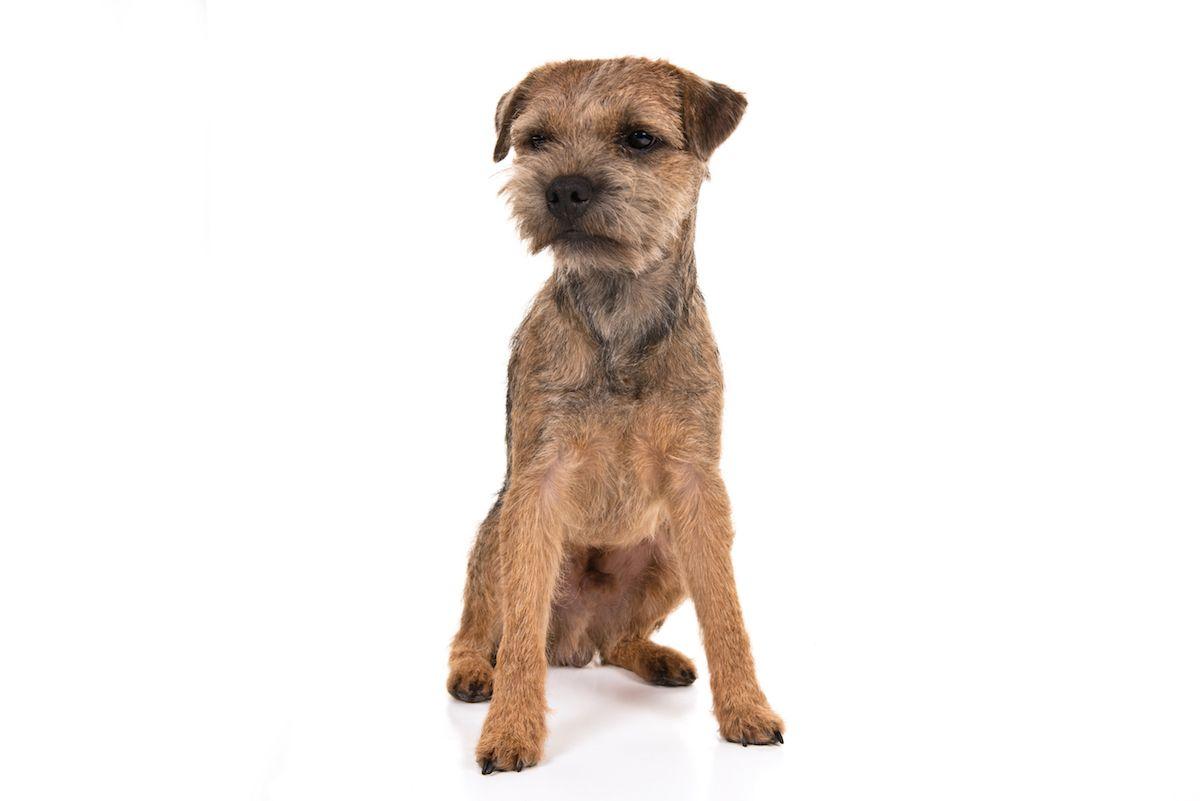 Border Terrier Dog Breed Information Terrier Dog Breeds Border