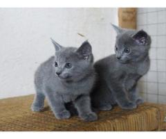 Russian Blue X Ragdoll Kittens Ragdollkittens Ragdoll Kitten