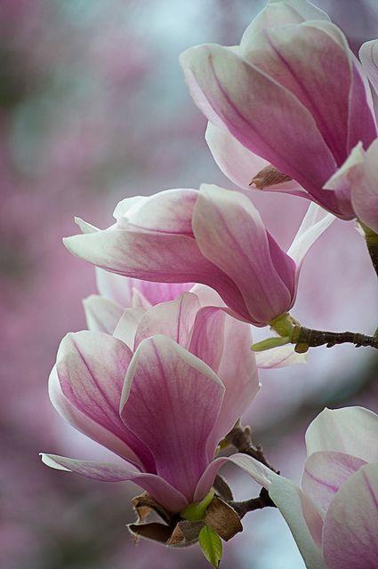 Pink Japanese Magnolia Tulip Tree Bewitchingbokeh Flowers