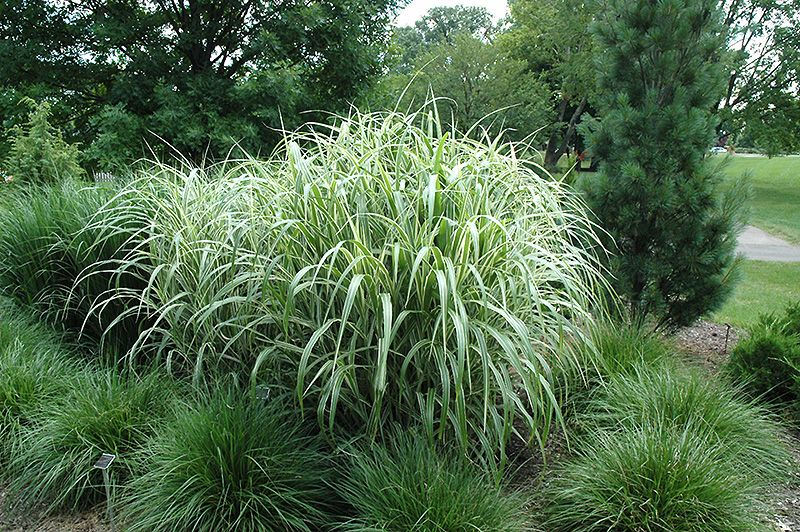 Cosmopolitan maiden grass miscanthus sinensis for Can ornamental grasses grow in shade