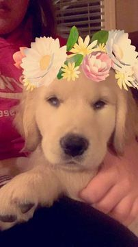 Golden Retriever Puppy For Sale In Vancouver Wa Adn 20389 On