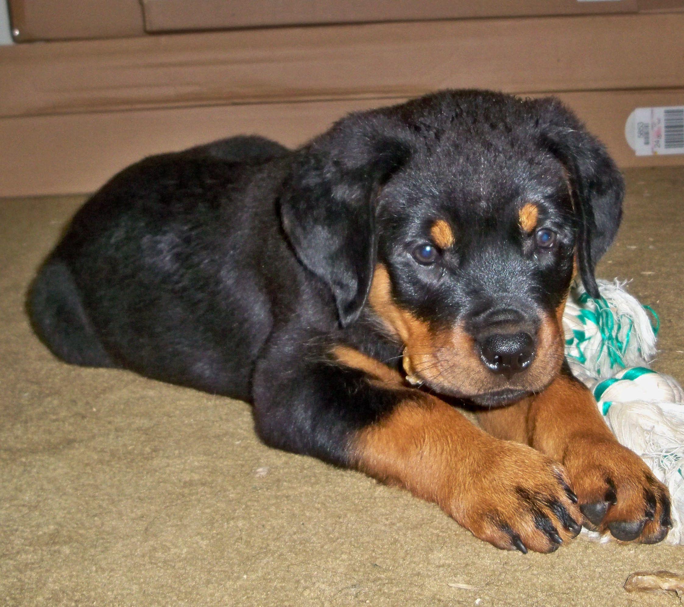 Rottweiler Dog Breed Information Rottweiler Dog Treat Toys Rottweiler Love
