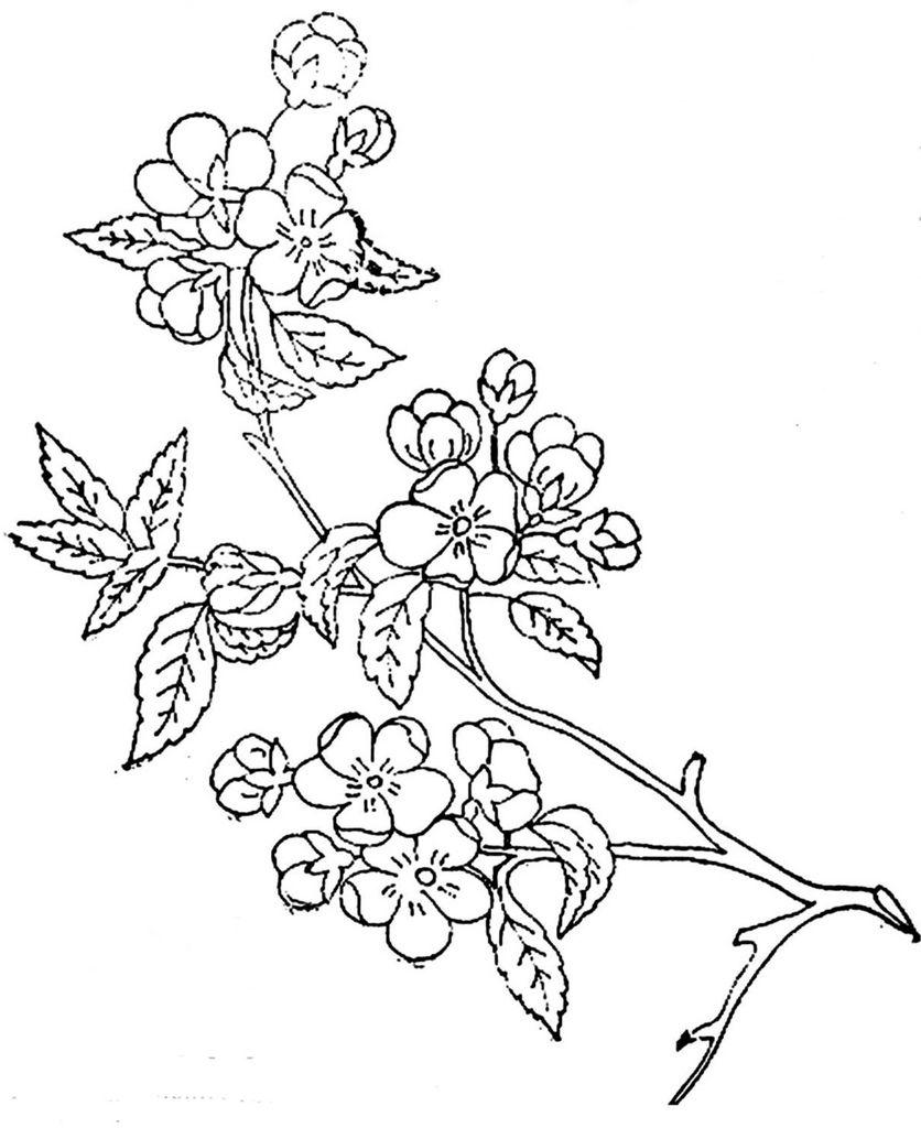 1886 Ingalls Apple Blossoms On Branch Apple Blossom Tattoos