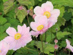 die besten pflanzen f r den schatten herbst anemone 39 serenade 39 anemone tomentosa 39 serenade. Black Bedroom Furniture Sets. Home Design Ideas