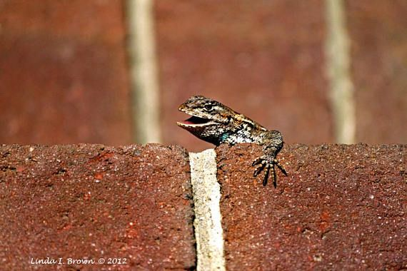 Eastern Fence Lizard With Mouth Open Color Photograph