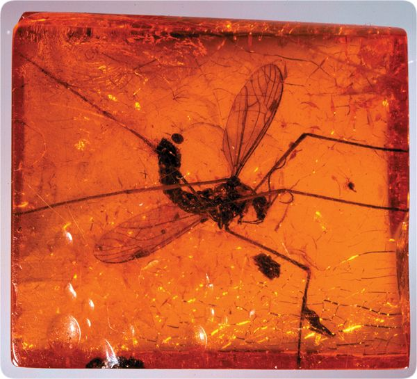 dating amber fossils Amber fossils demonstrate deep-time stability of caribbean lizard communities  17 fossil anoles in dominican amber dating to 15  amber fossils for.