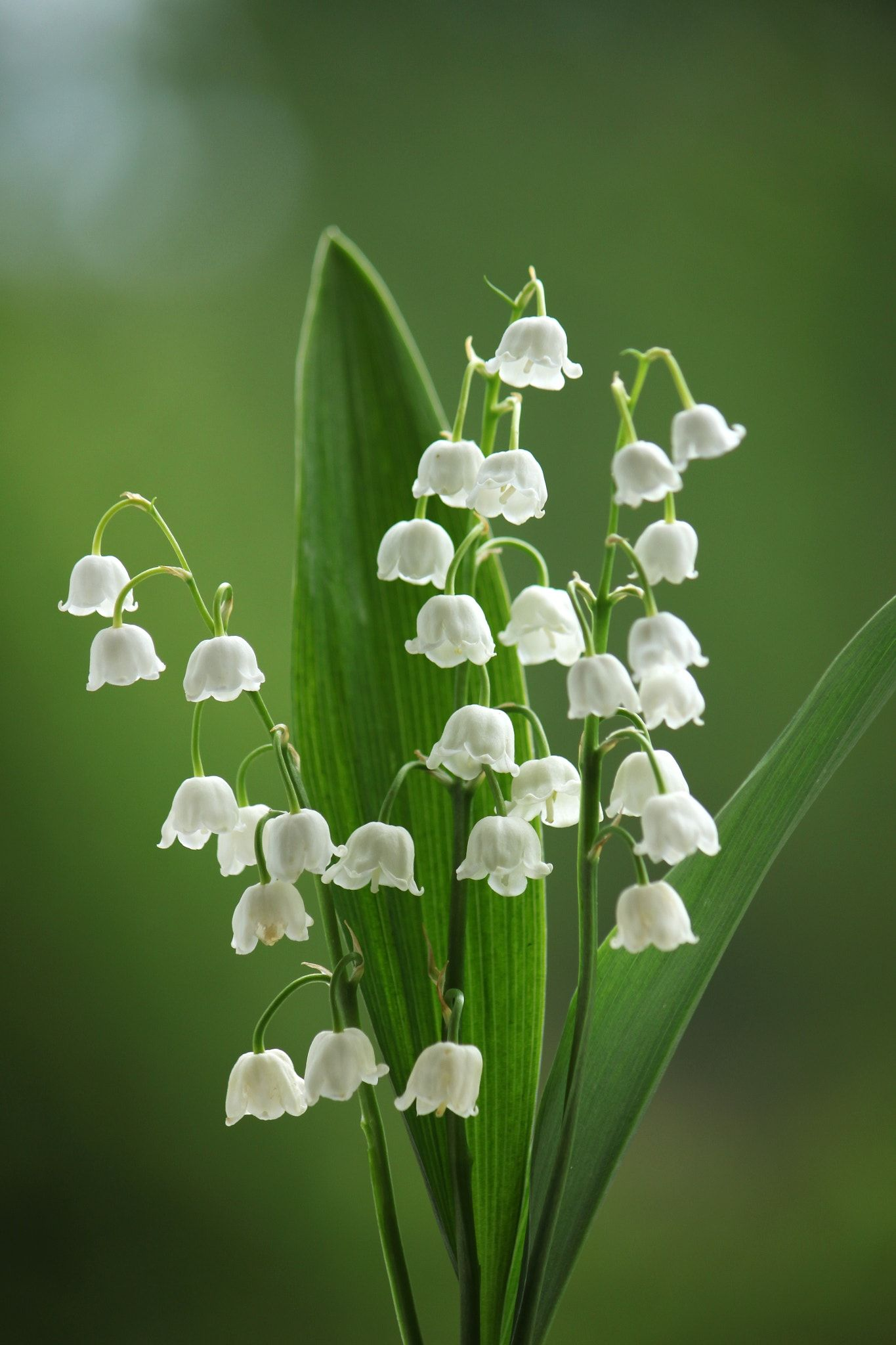Lily Of The Valley Wild About Flowers Pinterest Lily Of The