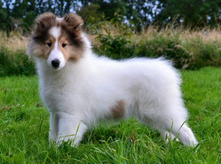 Champion American Rough Collies Recherche Google Rough Collie