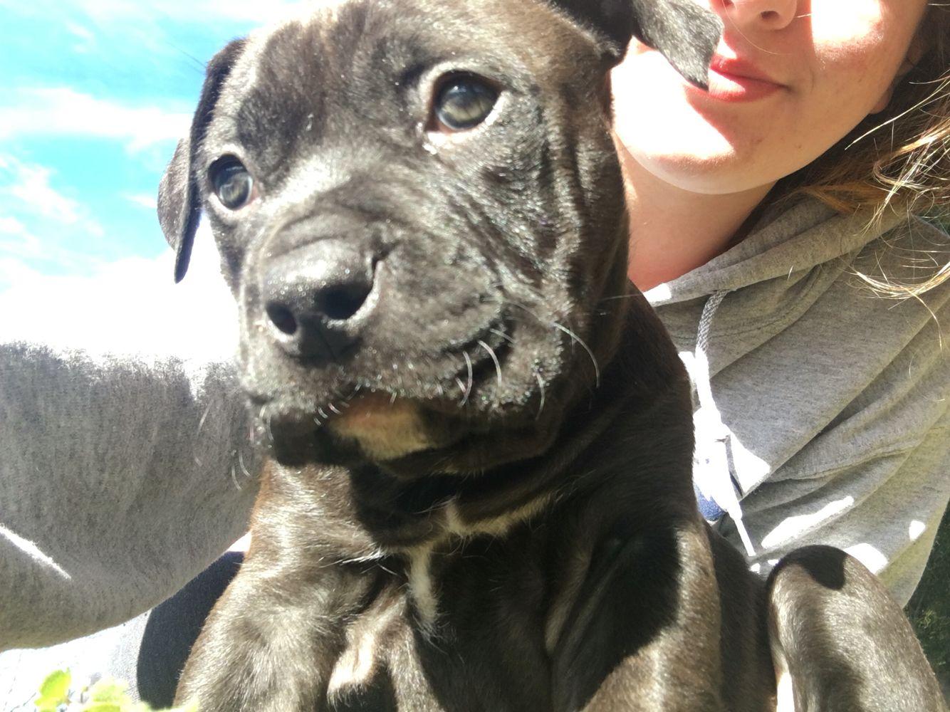 6 12 week old black pitbull puppy cute puppy black