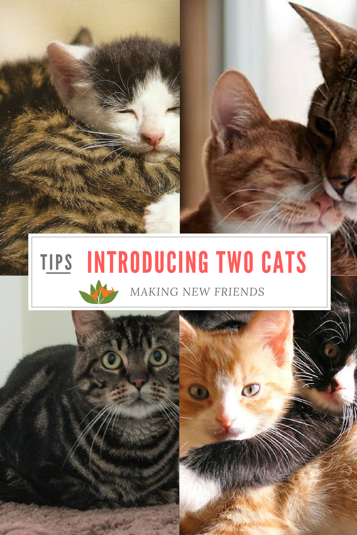 Cat Training Introducing Two Cats To Each Other Here S What You Should Do To Make It Easy And Safe Introducing Cats To How To Introduce Cats Cat Care Cats