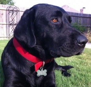 Looks Like Our Bear Dfw Lab Rescue Lab Rescue Labrador Retriever Dog Retriever Dog