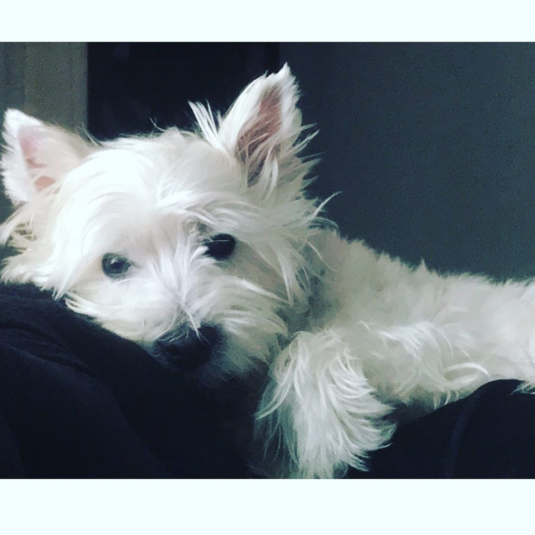 Pin By Kathleen Brown On Dogs Westie Puppies Dogs Westies