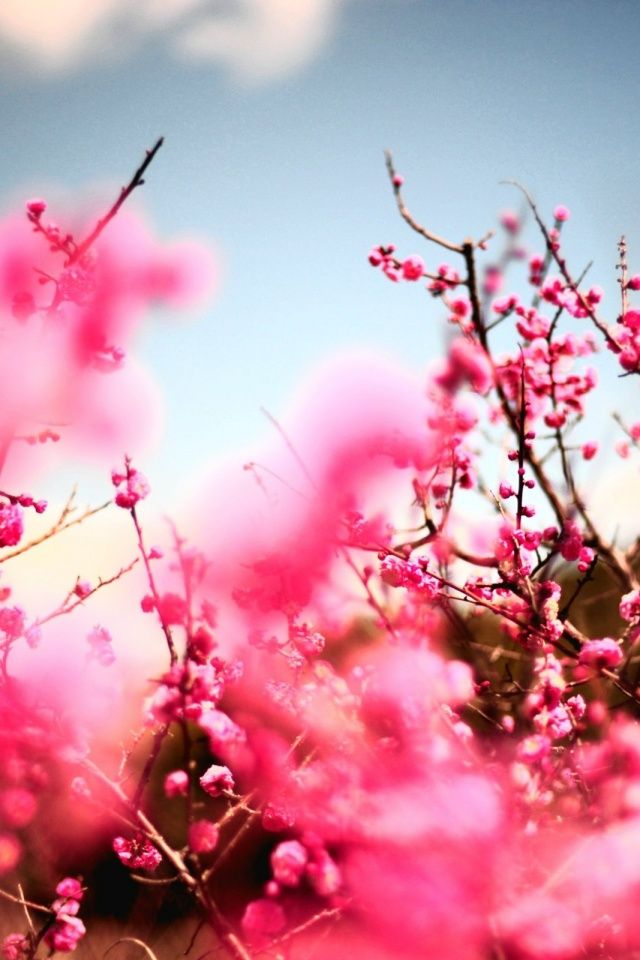 Cherry Blossoms Mobile Wallpaper Mobiles Wall Rosas Tipos De