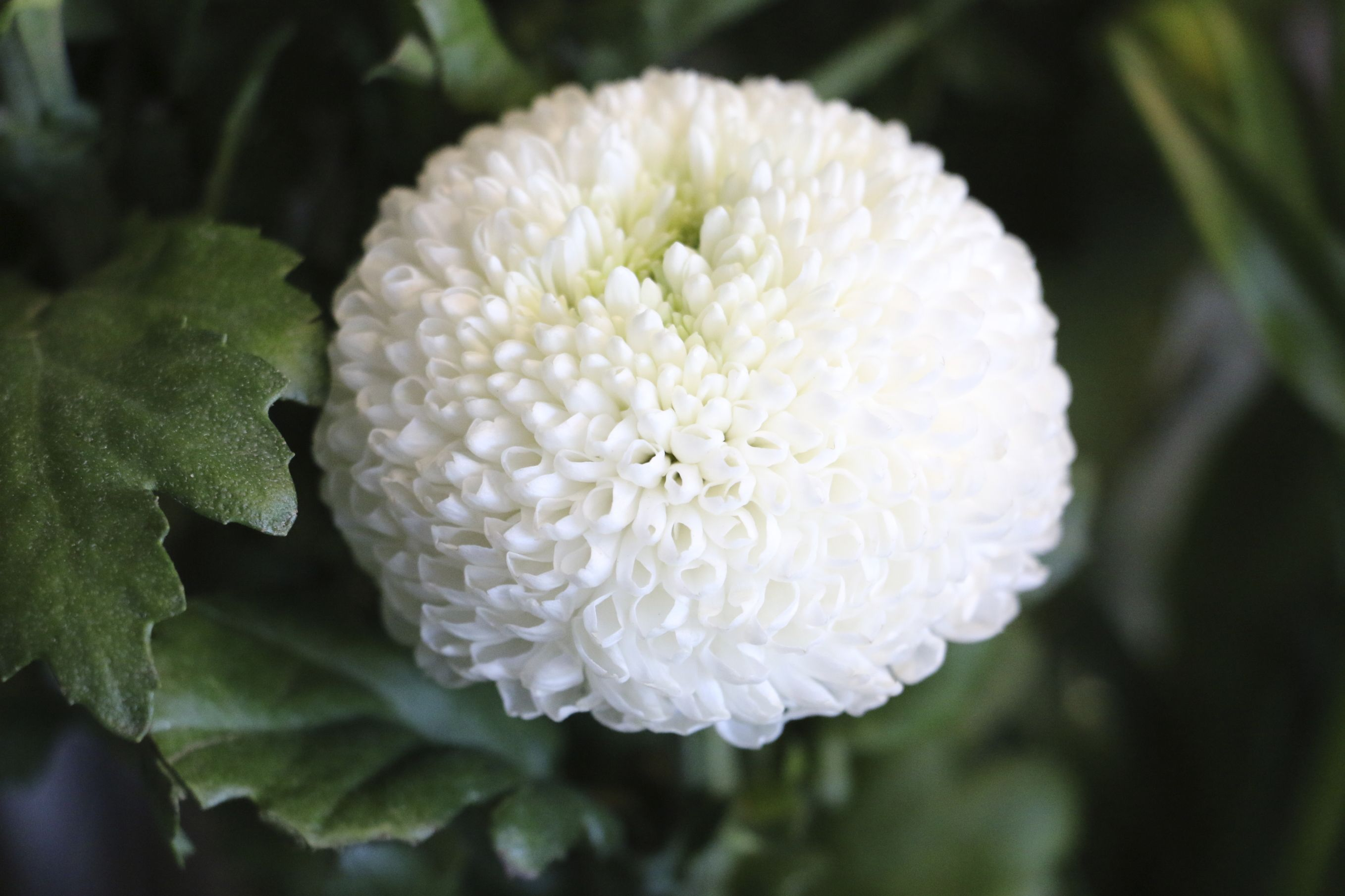 Pompom Chrysanthemums Look Like Big Fluffy Cotton Wool Balls Potted Mums Flowers White Chrysanthemum