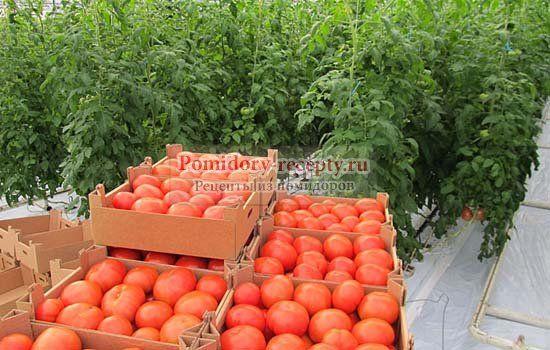 какие томаты сажать в теплице