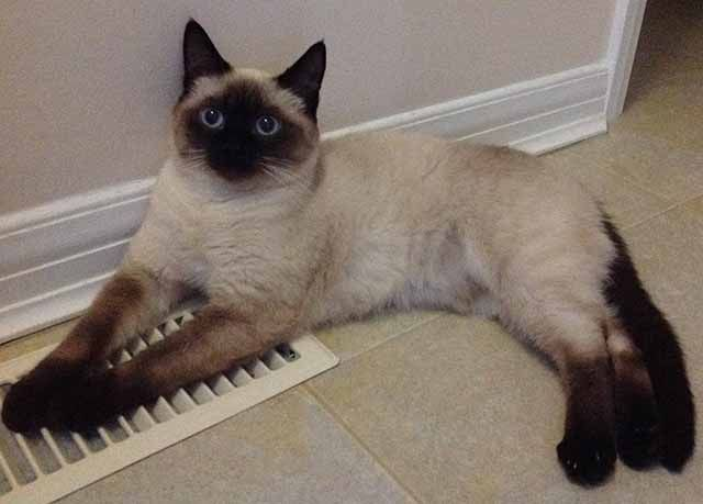 Lost Cat Siamese London On Canada N5x 2k4 Losing A Pet Lost Cat Cats
