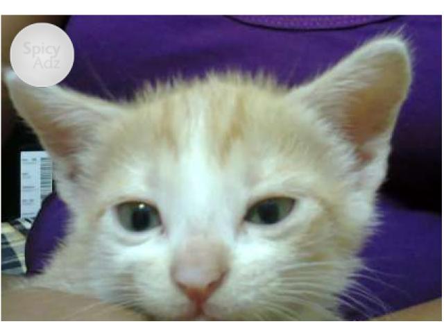 Semi Persian Kitten To Be Sold Agartala Persian Kittens