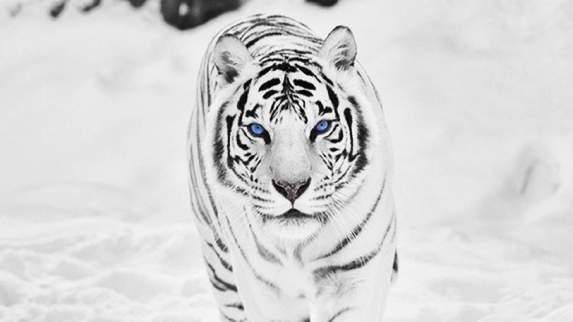 White Tiger Wallpaper Background Snow Tiger Tiger Wallpaper White Tiger