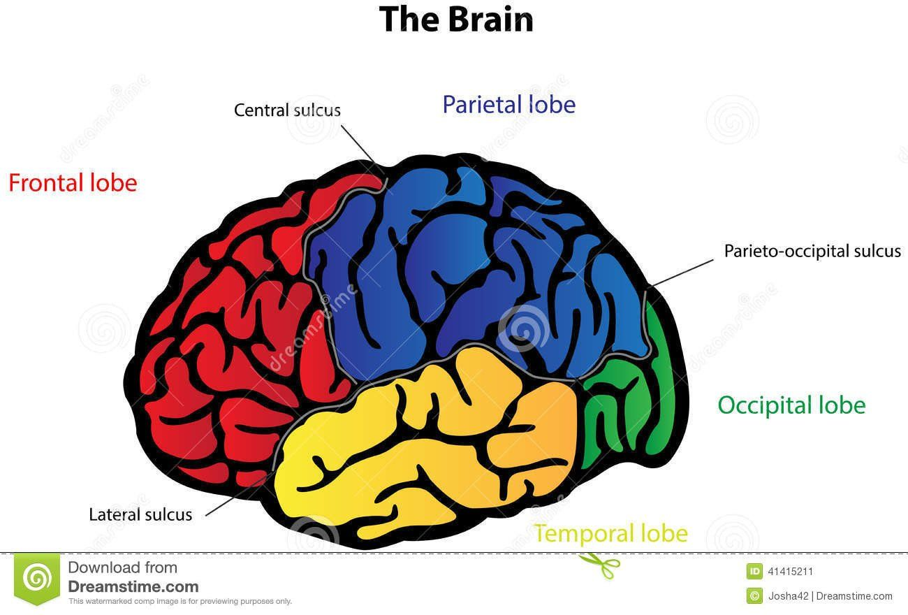Labeling The Brain Worksheet Brain Clipart Label Brain