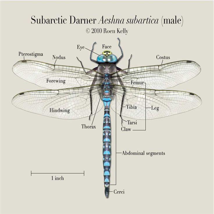 Best 25 Dragonfly Larvae Ideas On Pinterest Damselflies Dragonfly Diagram Wiring Diagram
