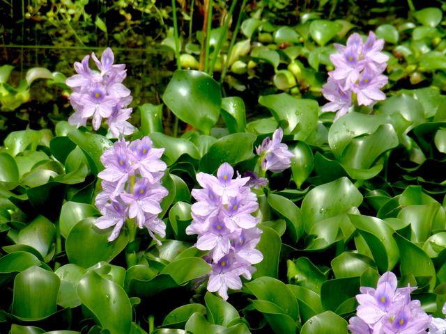 jacinthe d 39 eau eichhornia crassipes t plantes. Black Bedroom Furniture Sets. Home Design Ideas
