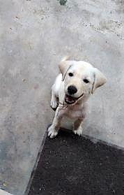 Male Labrador Puppy Purebreed Labrador Puppy Labrador