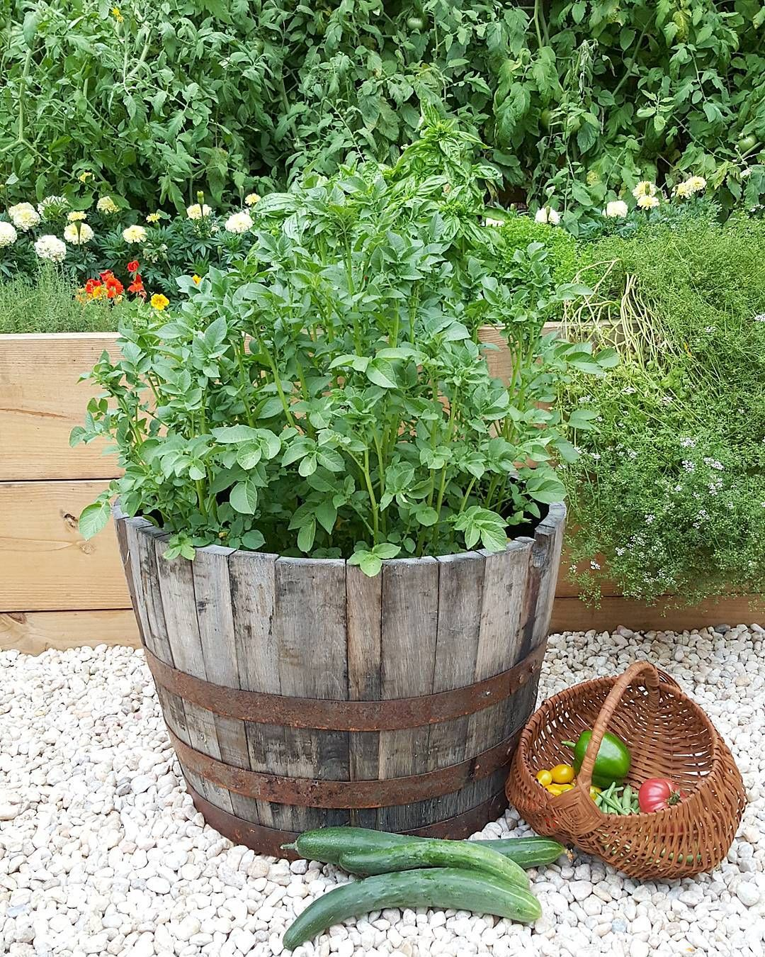 Growing Potatoes In A Barrel Planter From Tractor Supply Container Gardening Containergarden Tractorsupply Container Gardening Flower Farm Barrel Planter
