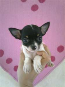 Applehead Chihuahua Puppies With Cert Malaysiads Com Malaysia