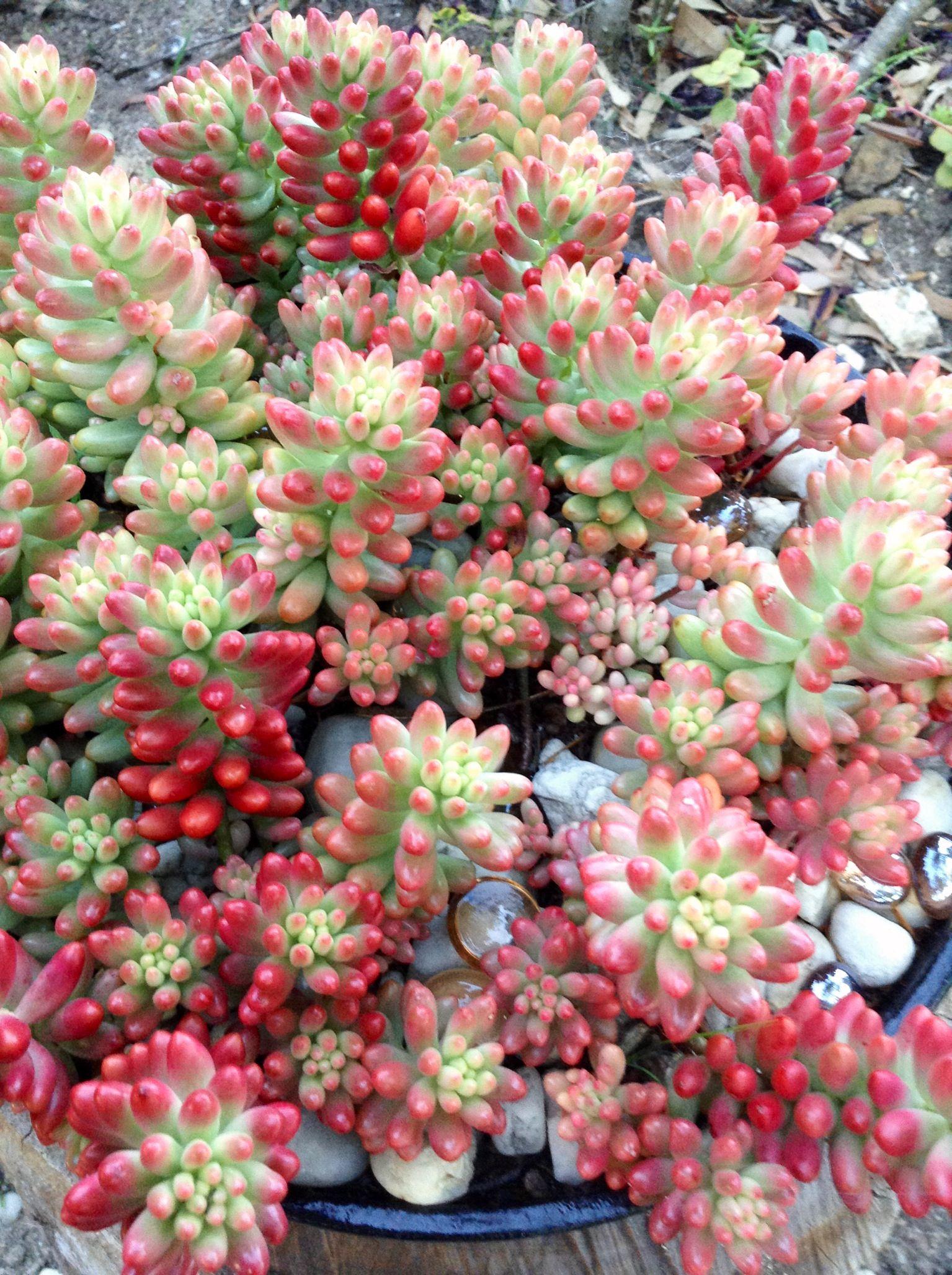 sedum rubrinctum var rosea pink jelly bean green pinterest kaktus pflanzen und mini garten. Black Bedroom Furniture Sets. Home Design Ideas