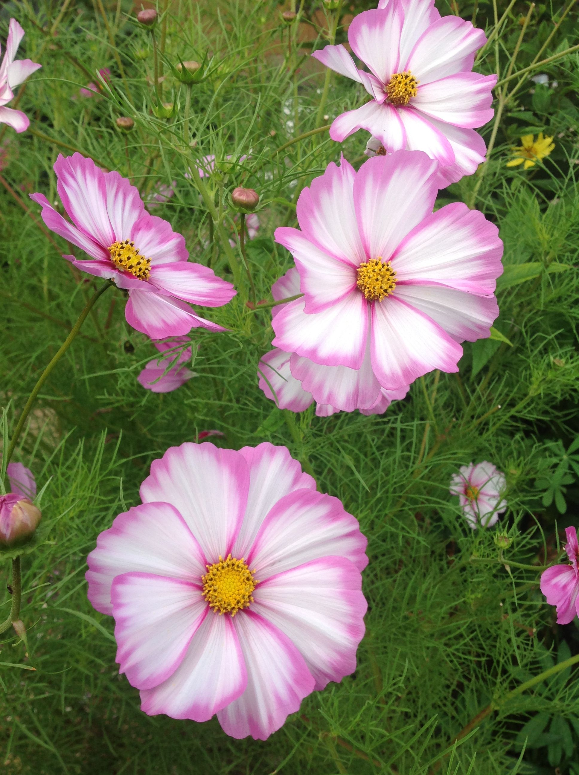 Candy Stripe , a great Cosmos. Cosmos flowers, Plants