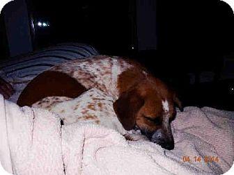Conroe Tx Australian Cattle Dog Mix Meet Bonnie A Dog For