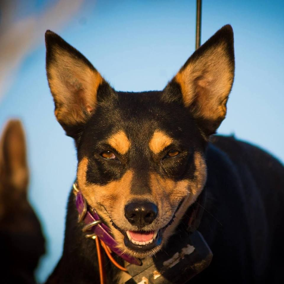Profile Pictures - Outback working dogs   Facebook
