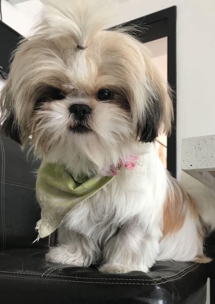 Image result for male shih tzu hairstyle shih tzu pinterest chien b b chien et photo chien - Image bebe chien ...