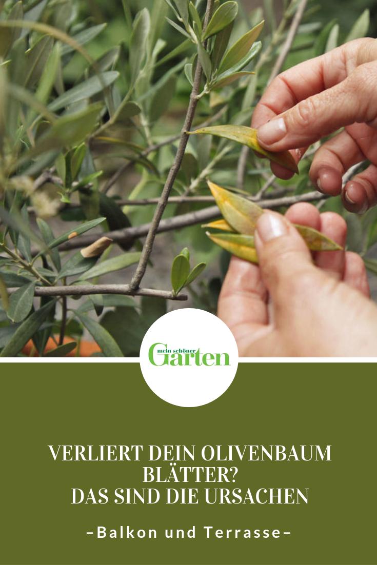 Der Olivenbaum Verliert Blatter Das Sind Die Ursachen Pflanzen Olivenbaum Pflanzen Umtopfen