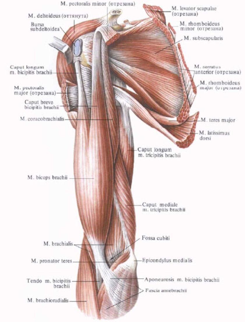 medium resolution of anterior muscles of the shoulder girdle and arm anatomy shoulder arm and shoulder muscles diagram arm and shoulder muscles diagram