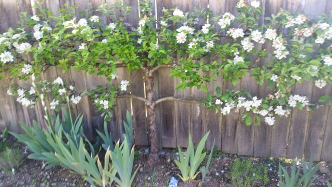 How to grow tree flat against fence.