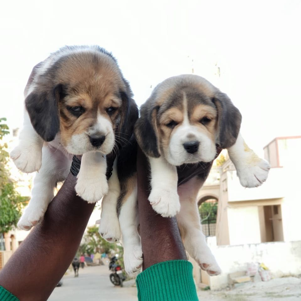 Top Quality Beagle Puppies For Sale Dm Or Call Us For Further