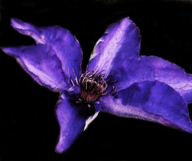 Purple flower on black background. #Purple #Flowers # ...