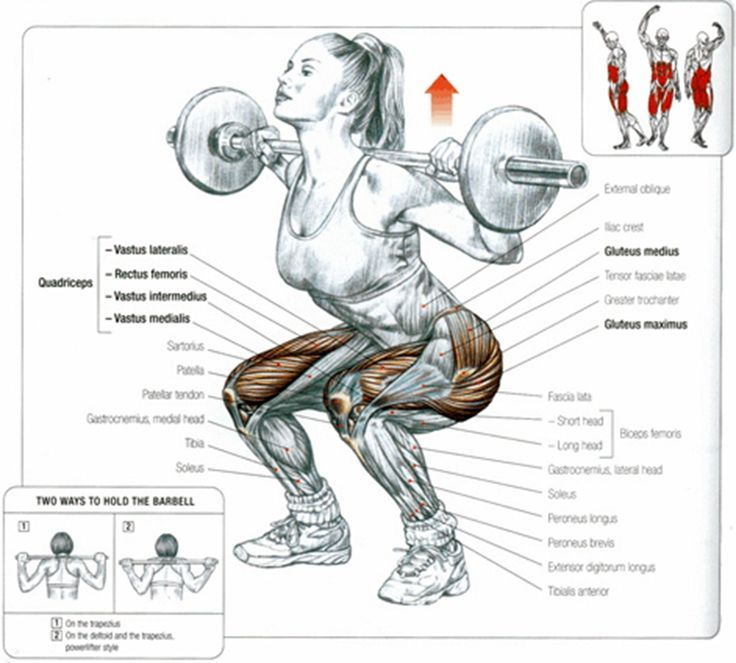 Muscles involved in the backsquat the lower back and