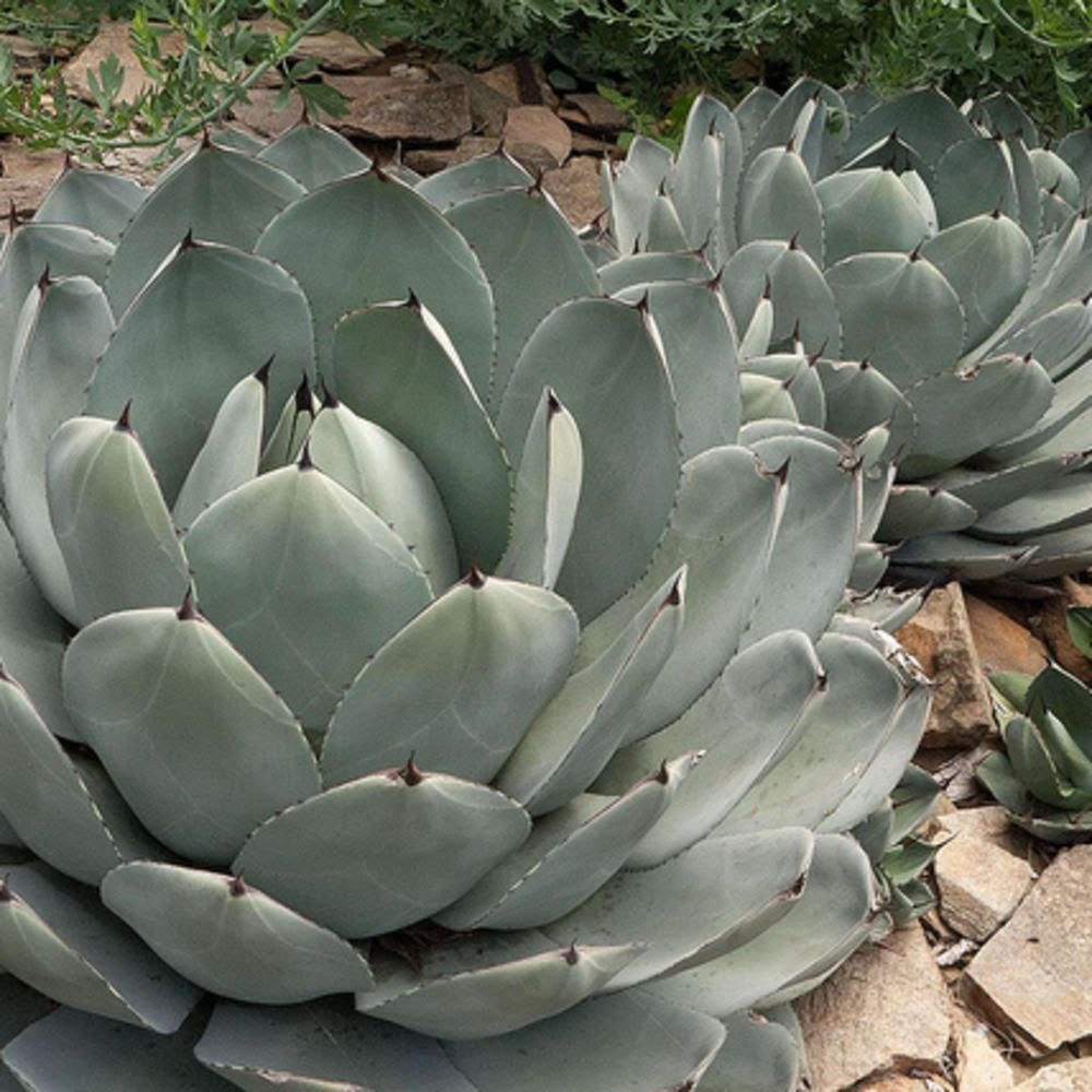 Save Water Plant an Agave (With images) Plants, Ways to