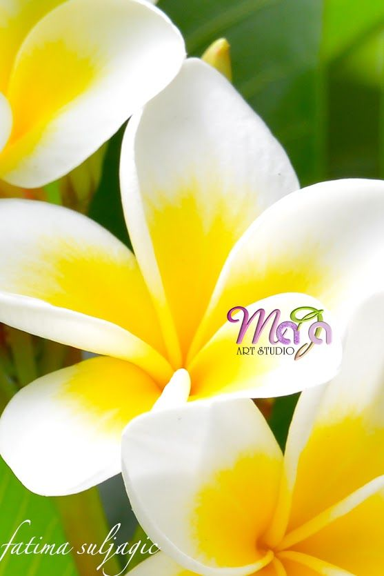 good for grafting easy to grow Plumeria Mona Lisa-1 cutting no roots