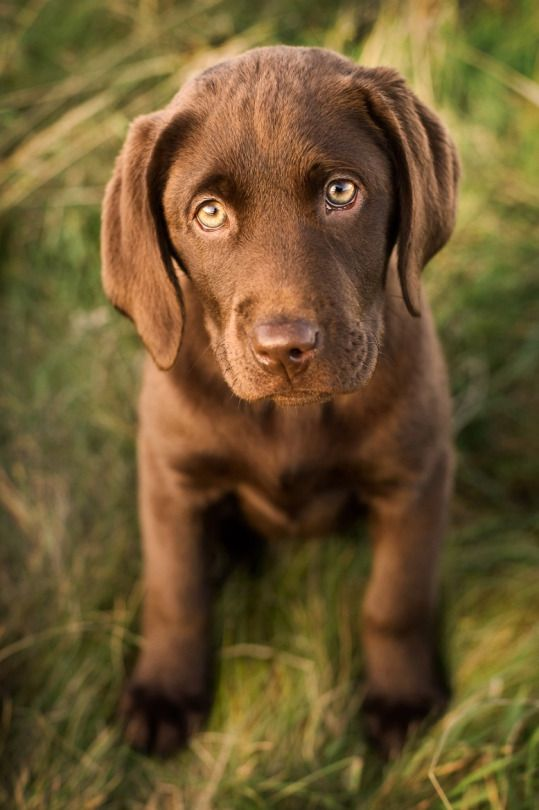 chocolate lab puppy.....awwwwwwwwwwwwwwwww! Chocolate